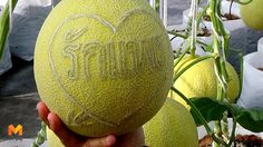 เกษตรกรไอเดียเก๋ รับสลักชื่อบนผลเมล่อนขาย ให้คู่รักช่วงวาเลนไทน์
