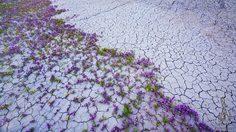 พรมม่วง ดอกไม้ป่า แห่ง ทะเลทราย โมฮาวี