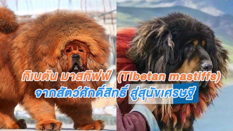ทิเบตัน มาสทิฟฟ์ จากสัตว์ศักดิ์สิทธิ์ สู่สุนัขเศรษฐี และหมาจรที่ถูกทิ้ง