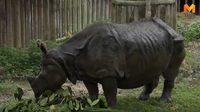"""สวนสัตว์เชียงใหม่จัดอาหารเลี้ยง """"กาลิ"""" แรดอินเดียหายาก หนึ่งเดียวในไทย"""