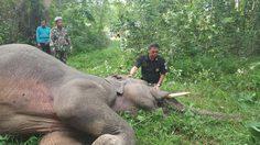 สลด! ช้างป่าเพศผู้ เขาอ่างฤาไน ถูกไฟช็อตล้ม