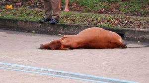 หนุ่มขับเก๋งดวงซวย ชนวัวตายหาเจ้าของไม่เจอ ก่อนนำซากขายไปเป็นค่าซ่อม