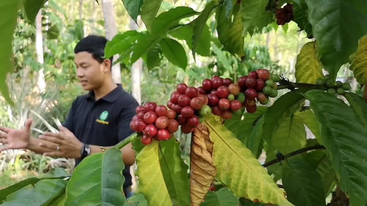 คิดต่าง!! เกษตรกรชาวสวนยาง ใช้ร่องสวนปลูกกาแฟคุณภาพจากต้นสู่แก้ว