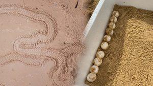พบเต่ามะเฟืองวางไข่ หาดเขาหน้ายักษ์ อช.เขาลำปี-หาดท้ายเหมือง