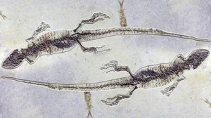 จีนพบฟอสซิลกิ้งก่าราวอายุ 100 ล้านปี พร้อมซากกุ้งในกระเพาะ
