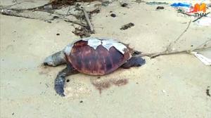 วิกฤตเต่าทะเลอ่าวไทย พบตายแล้ว 30 ตัว
