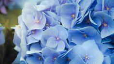 12 ข้อน่ารู้ของต้น ไฮเดรนเยีย ดอกไม้เมืองหนาวหลากสีสัน