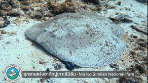 เตือนระวัง หลังพบปลากระเบนไฟฟ้า ที่สิมิลัน