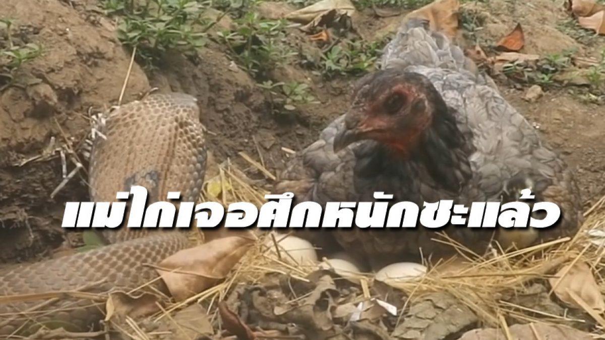 มีลุ้น! เมื่อ งูเห่า สายหิว Vs แม่ไก่ หวงไข่ จะสู้ไหวมั้ยงานนี้