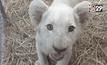 สวนสัตว์เชียงใหม่ โชว์ลูกสิงโต