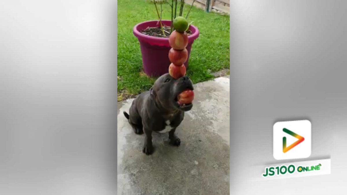 สุนัขแสนรู้ โชว์เลี้ยงลูกแอปเปิ้ลไว้บนบริเวณสันจมูก (10-5-61)