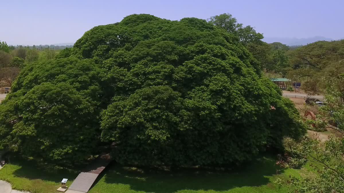 ๑๐ สุดยอดต้นไม้มหัศจรรย์ของไทย