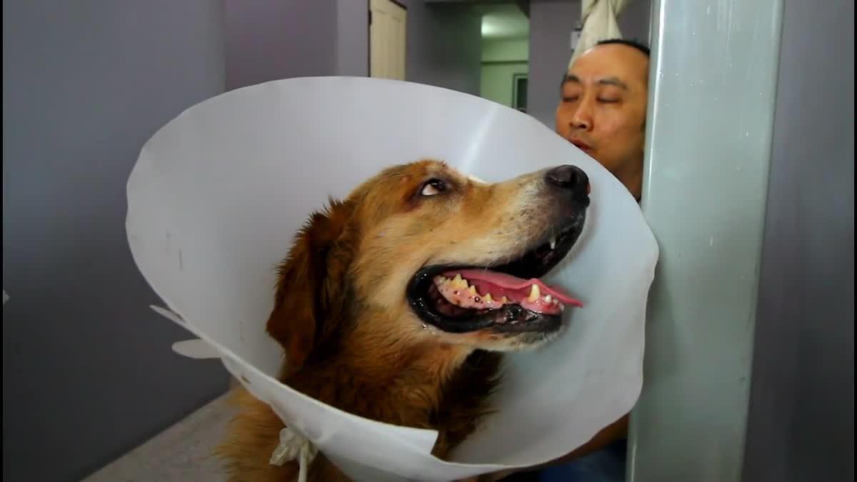 สุดทึ่ง! สุนัขพันธุ์โกลเด้นฯ ถูกรุมกัด เคาะประตูคลินิกสัตว์ให้หมอรักษา