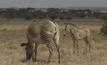 สำรวจประชากรม้าลายเกรวีในเคนยา