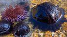 พบหอยเม่นหมวกกันน็อค สัตว์ทะเลหายากในประเทศไทย