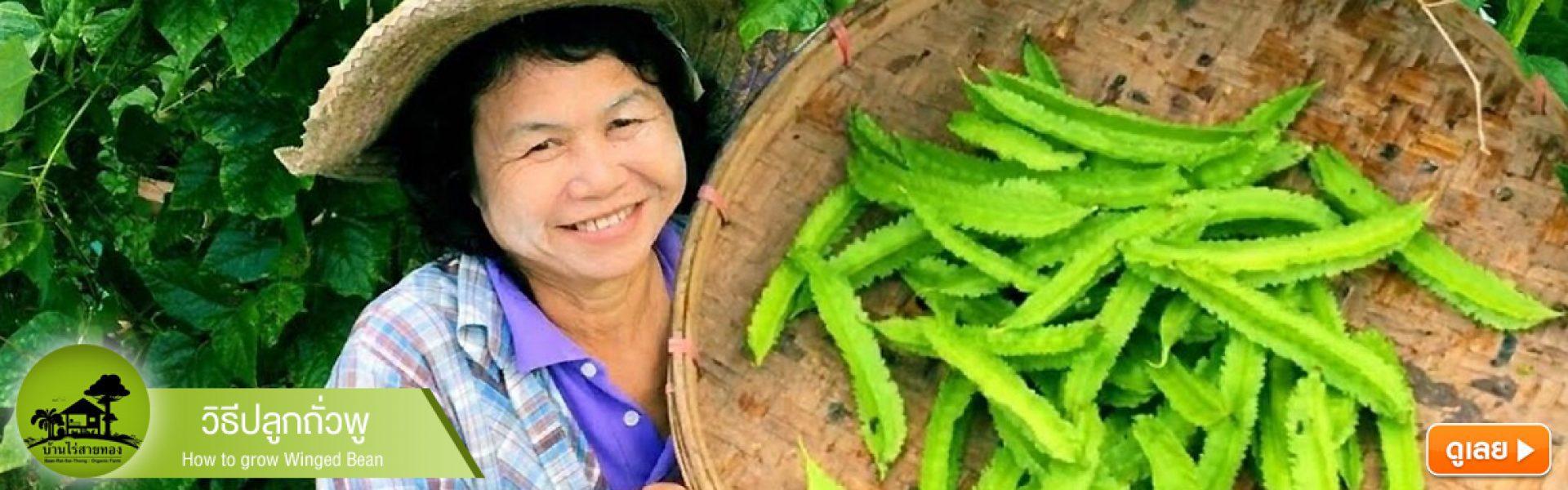 วิธีปลูกถั่วพู / How to grow Winged Bean