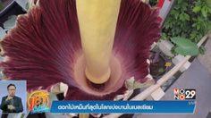 นาน ๆ จะบานที ! ดอกไม้มีกลิ่นเหม็นที่สุดในโลกบานในเบลเยียม