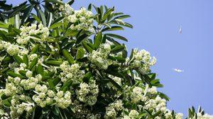 15 ประโยชน์ของ ต้นตีนเป็ด หรือพญาสัตบรรณ กลิ่นดอกที่เป็นสัญญาณของฤดูหนาว