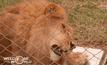 ช่วยสิงโตกว่า 30 ตัว ในเปรู-โคลอมเบีย