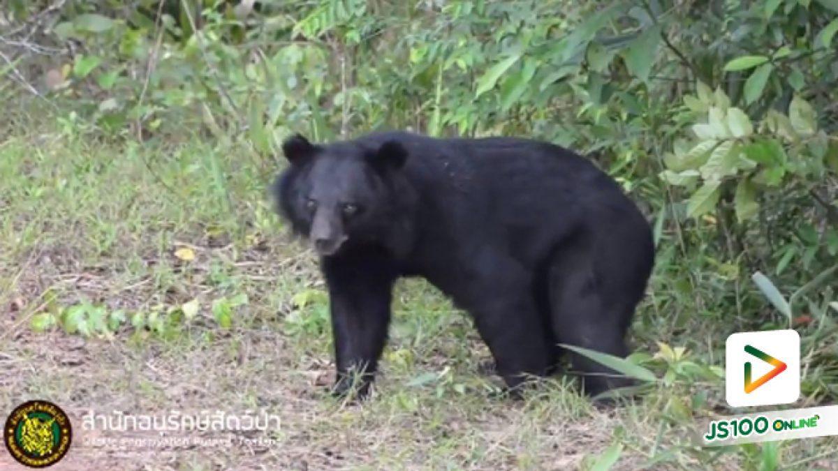 """คลิปจนท.สำนักอนุรักษ์สัตว์ป่าปล่อยหมีควาย """"เจ้าโฮก"""" คืนสู่ป่าเขาใหญ่- ดงพญาเย็น (09-05-61)"""