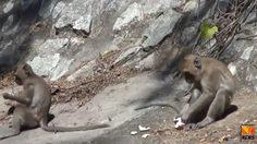 ชาวเน็ตสงสัย!! ลิงเขาสามมุขรับสายและโทรวีดิโอคอลเองได้จริงหรือ?
