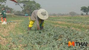 แล้งหนัก! ชาวนา จ.พะเยาหันปลูกแตงโม พืชใช้น้ำน้อย สร้างรายได้ดี