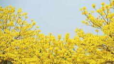 ดอกเหลืองอินเดีย ม.แม่ฟ้าหลวง สวยงามมาก บานปีละครั้งเท่านั้น!