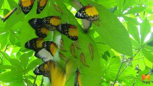ชาวบ้านทึ้ง!! ผีเสื้อนับ 100 ตัว วางไข่บนต้นมันสำปะหลัง
