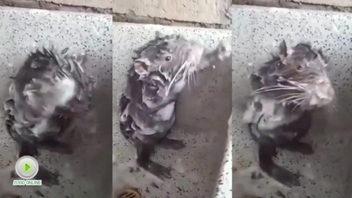 หนูอาบน้ำ!! ได้เหมือนมนุษย์