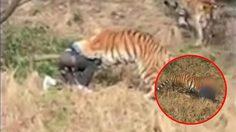 หนุ่มจีนไม่อยากซื้อตั๋วเข้าสวนสัตว์ เลยแอบปีนเข้าไปในกรง เสือโคร่ง แต่โดนพวกมันรุมจนเสียชีวิต
