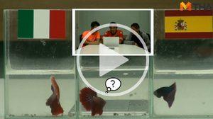ซี้ซั้วฟันธง! ปลากัดทายผล ยูโร 2016 อิตาลี ปะทะ สเปน (27 มิ.ย.)