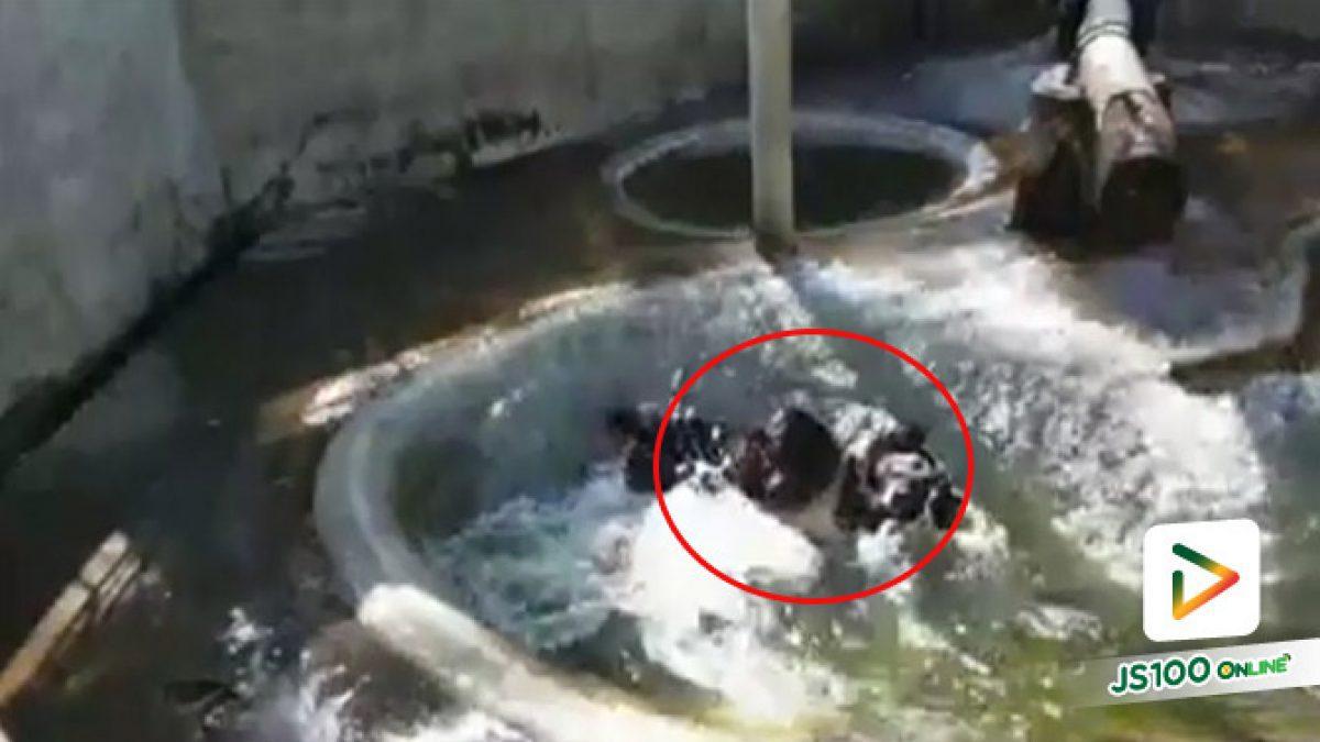 """""""เจมส์"""" หมีควายสุดน่ารัก ทิ้งตัวลงน้ำอย่างสบายใจที่บ่อเพาะเลี้ยงสัตว์ป่าภูเขียว จ.ชัยภูมิ (21/07/2019)"""