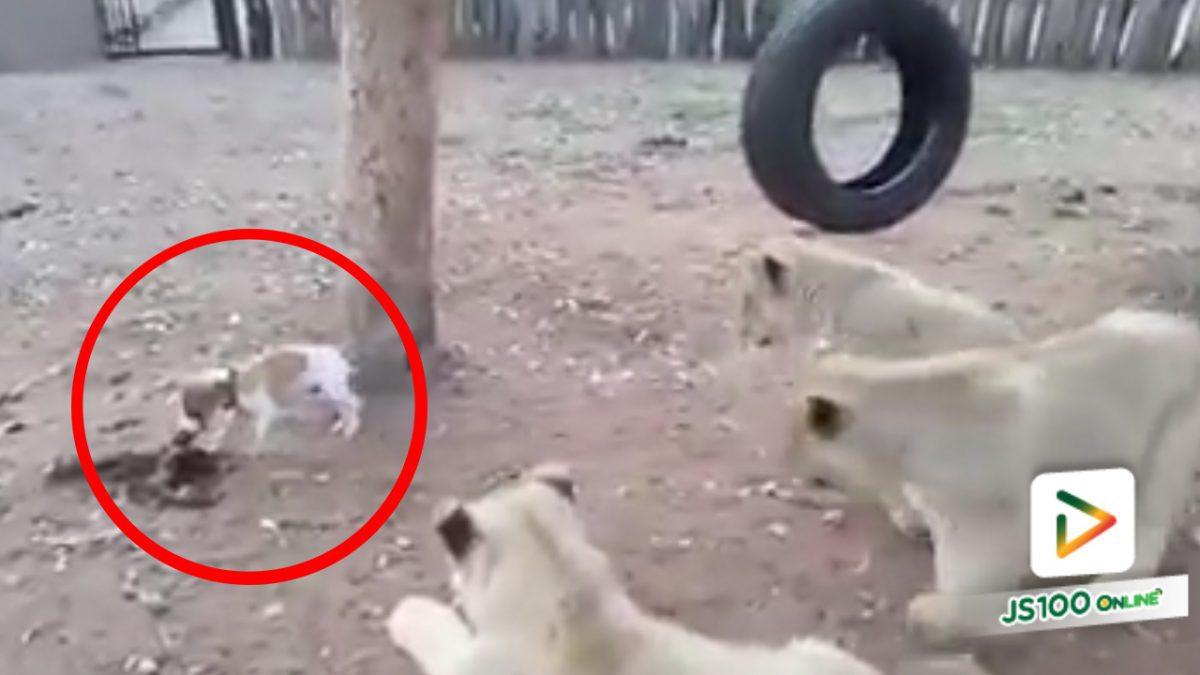 ดุเกินเป็นลูกสุนัข..ขนาดลูกสิงโต 3  ตัวยังต้องกลัว !! (4-5-61)