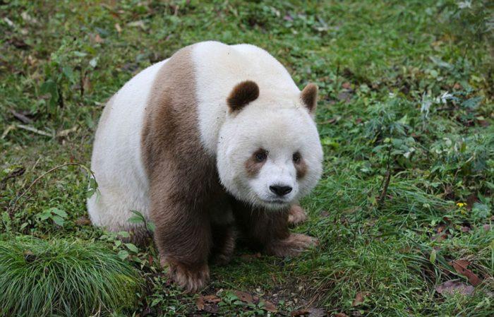 Only Brown Panda (9)
