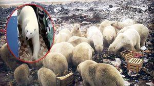 ตอนเหนือรัสเซียต้องประกาศสถานการณ์ฉุกเฉิน เพราะโดน หมีขั้วโลก บุกมากกว่า 50 ตัว!!