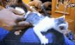 ช่วยลูกแมวตกจากฝ้าเพดานลงไปในเสาศาลาวัด