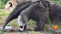 สวนสัตว์เขาเขียวขยายพันธุ์ ตัวกินมดยักษ์ สัตว์หายาก จากอเมริกาใต้สำเร็จ