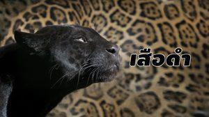 'เสือดำ' สัตว์ป่าคุ้มครอง ที่ถูกพูดถึงในรอบ 1 ปี จาก 'คดีเปรมชัย'