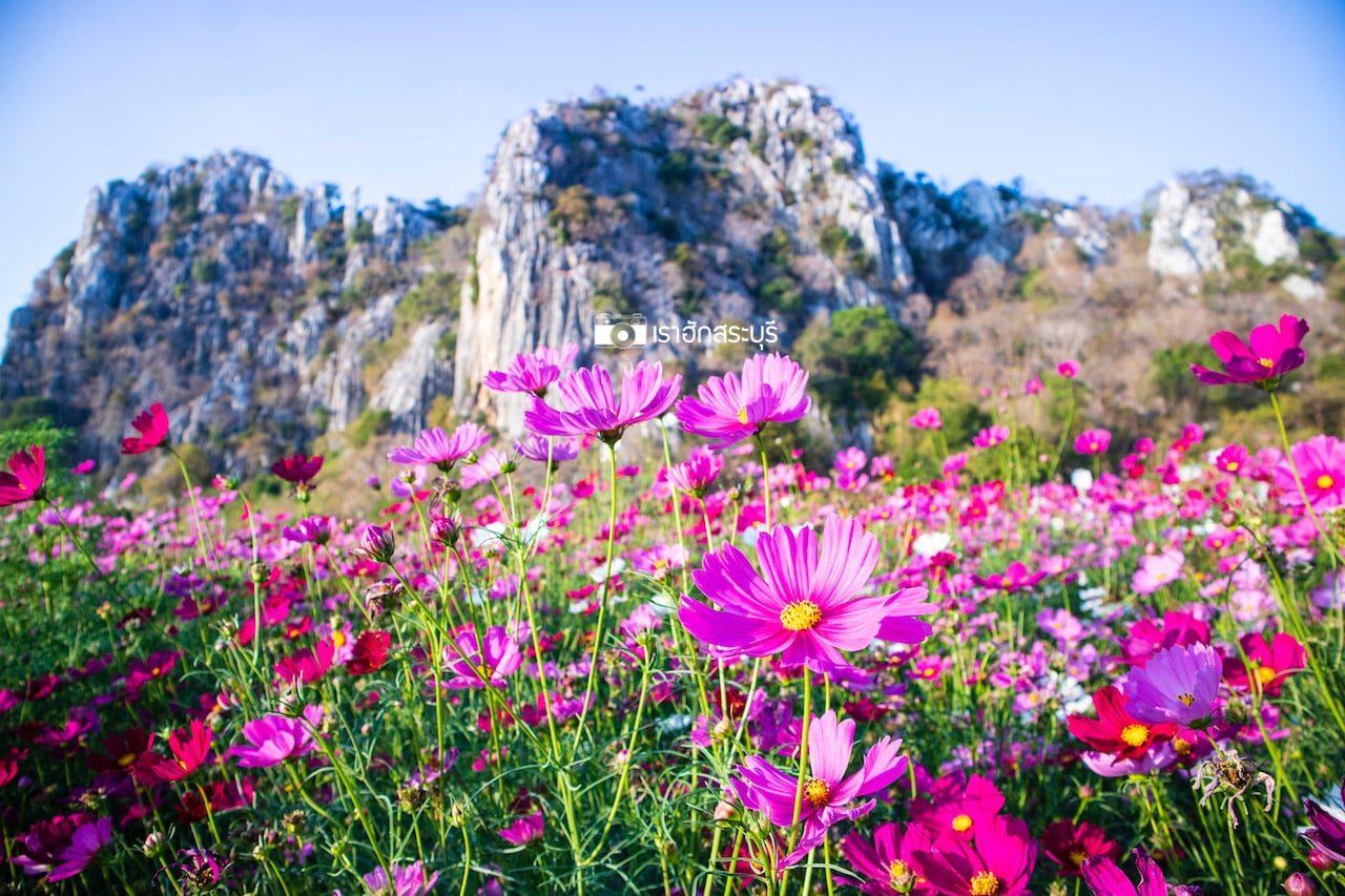 สวนดอกคอสมอส ทุ่งสิริสมัย ผลิบานเป็นสีชมพู ที่เขาพระพุทธบาทน้อย จ.สระบุรี