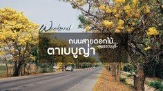 ถนนสายดอกไม้…ตาเบบูญ่า (เหลืองปรีดียาธร) สุพรรณบุรี ใกล้ๆ กรุงเทพ