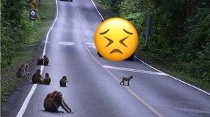 อุทยานฯ วอน! หยุดให้อาหารสัตว์บนเขาใหญ่ ชี้เสี่ยงทำให้สัตว์ป่าตาย
