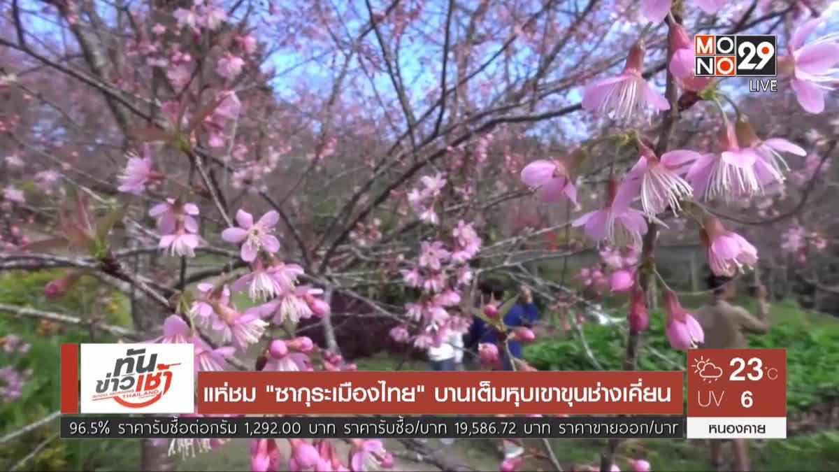 """แห่ชม""""ซากุระเมืองไทย"""" บานเต็มหุบเขาขุนช่างเคี่ยน"""
