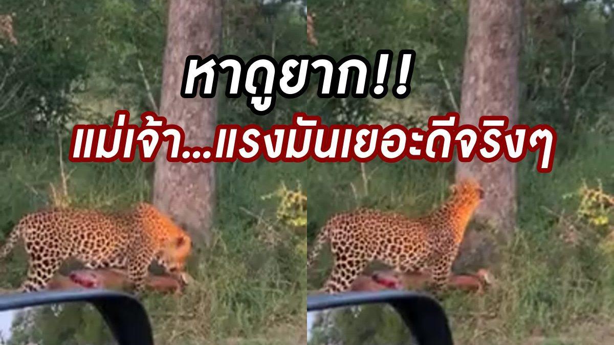แรงเหลือเฟือ! จะๆ คาตานาที เสือดาวคาบละมั่งไปกินบนต้นไม้  หาดูยาก