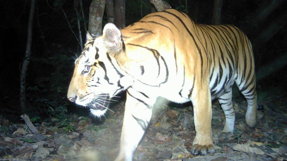 อุดมสมบูรณ์ พบเสือโคร่งตัวแรก ในผืนป่าเขตสลักพระ