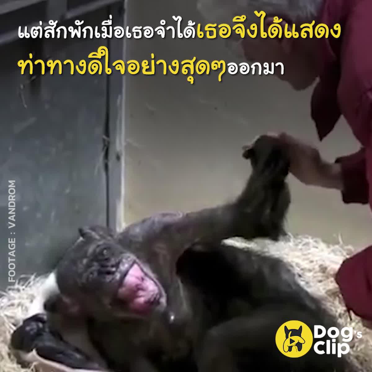 การบอกลาครั้งสุดท้ายของชิมแปนซีแก่และอดีตคนดูแล