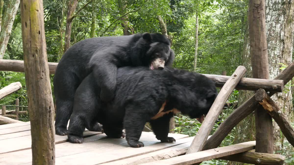 หมีควายขี้เล่น คิดว่าตัวเองเป็นเด็กเล็ก! 4K