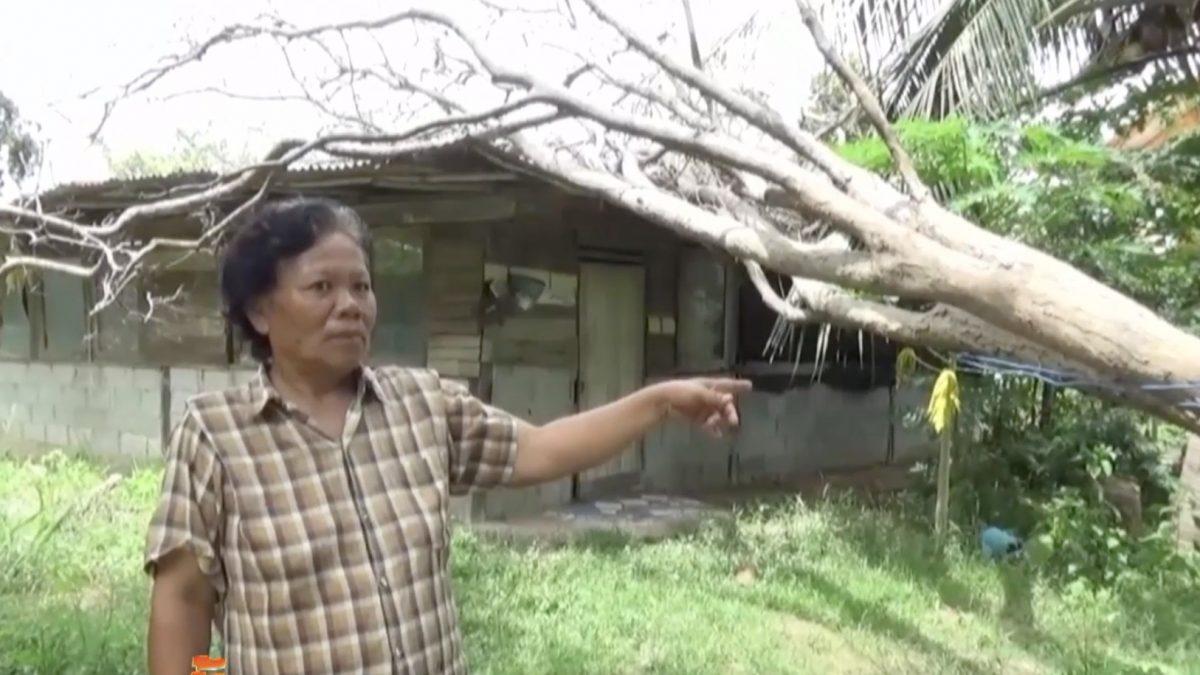 ต้นพะยูงทับบ้านนาน 3 เดือนไม่กล้าตัดกลัวถูกจับ
