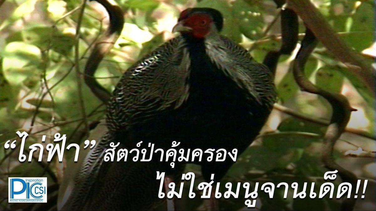 """""""ไก่ฟ้า"""" สัตว์ป่าคุ้มครอง ไม่ใช่เมนูจานเด็ด!!"""