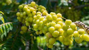 วิธีปลูก มะยม ต้นไม้มงคลอีกหนึ่งชนิดที่หลายบ้านนิยมปลูกไว้