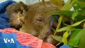 """""""โคอาลา""""หนีไฟป่าออสเตรเลียปลอดภัยแล้ว ได้ชื่อใหม่ """"ลูอิส"""""""
